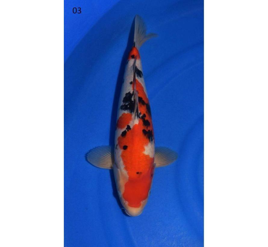 Sanke Sakai Fish Farm Tosai nr03 | Japanse Koi