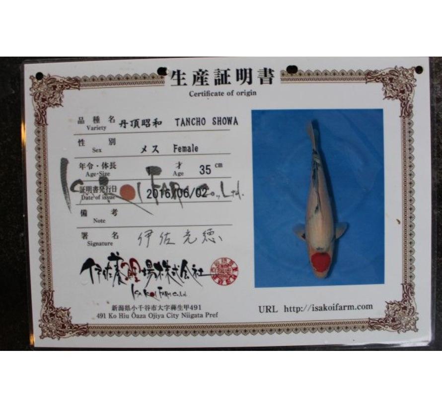 Isa Showa 55cm