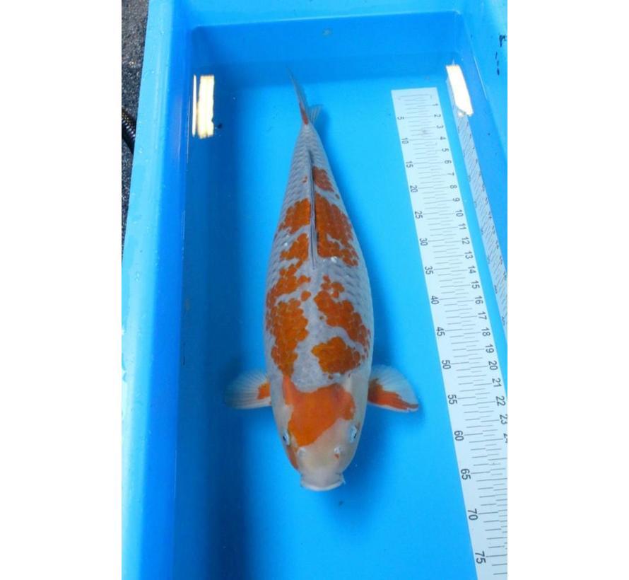 Oofuchi Ochiba 68cm
