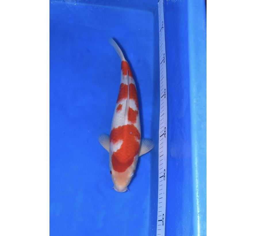 Kohaku Leeftijd (jaar): 2 Lengte: 41-45 CM. Kweker: Hasegawa Prijs (EUR): 395