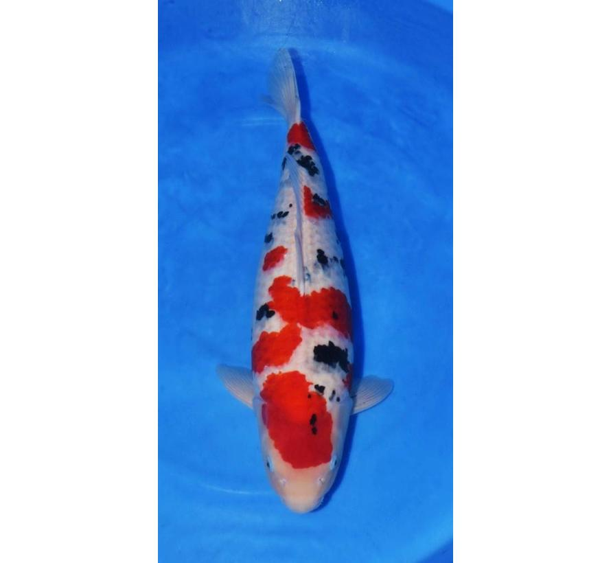 Nagoshi Sanke 73cm verkocht