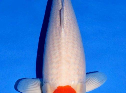 Tancho Kohaku Isa Tancho 55-60cm