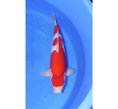 Kohaku Marudo Kohaku 50cm