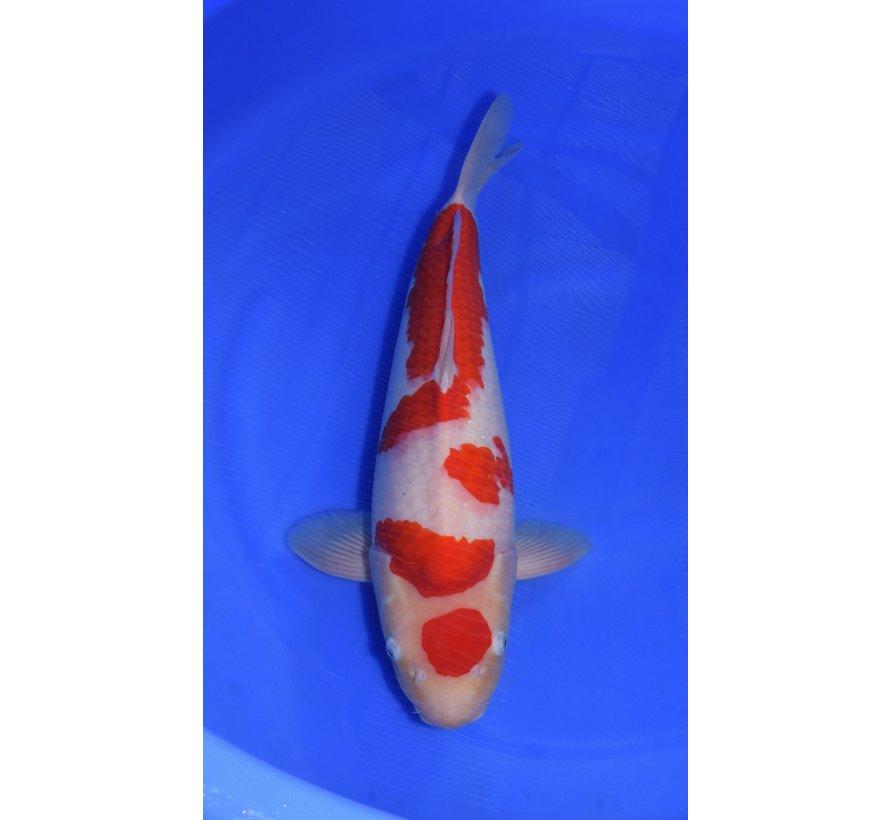 Marudo Kohaku 50cm