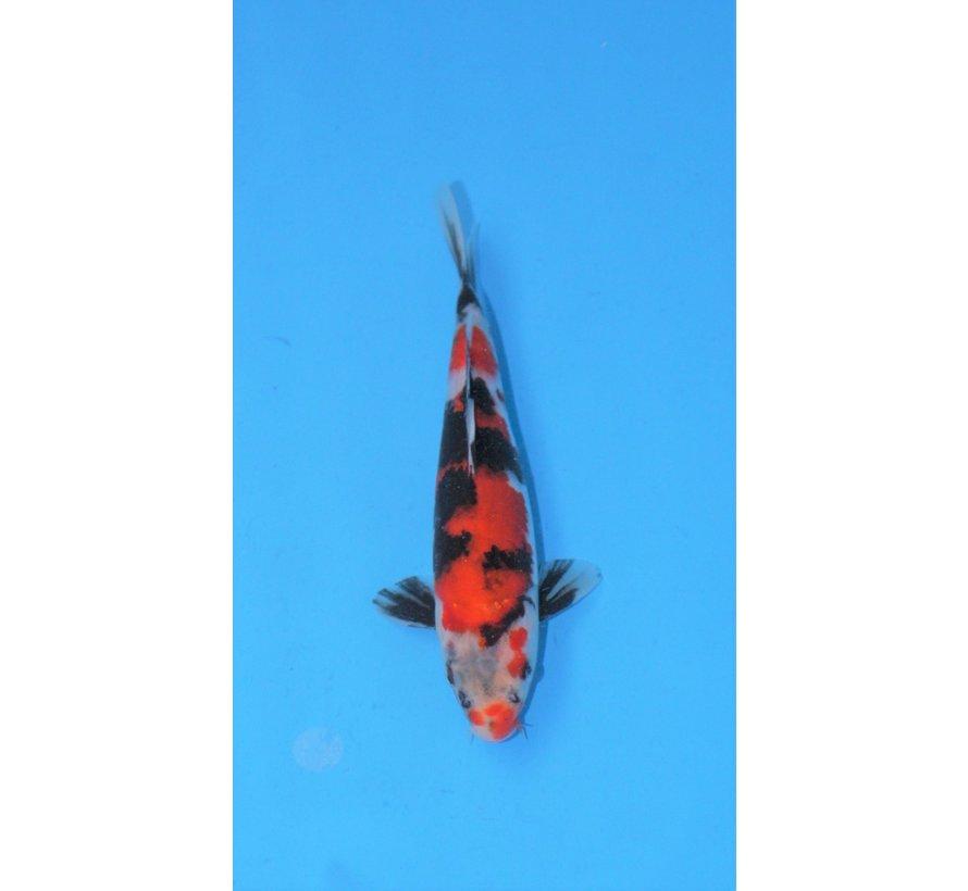 Hoshikin Showa tosai 25-30cm 1