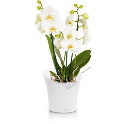 Lechuza Orchidea