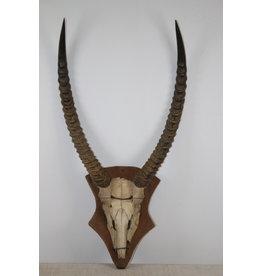 Gemsbok Gewei Afrikaans
