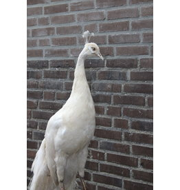Opgezette Witte Pauw Taxidermy