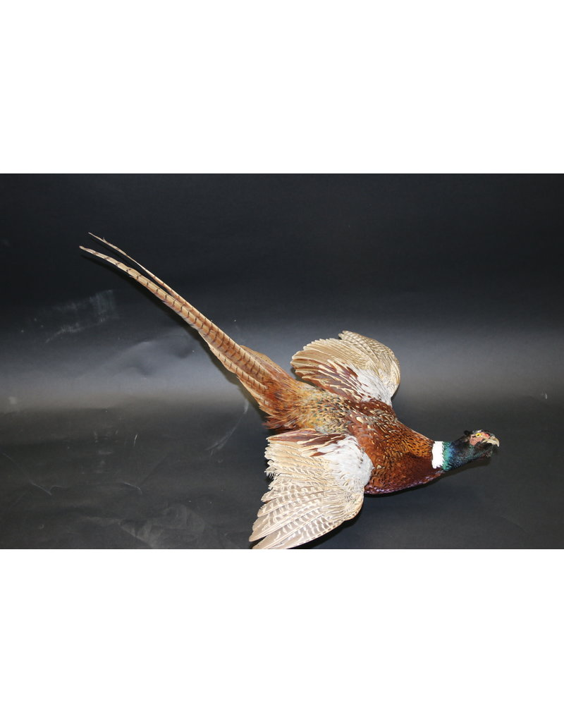 Fazant opgezet vliegend model