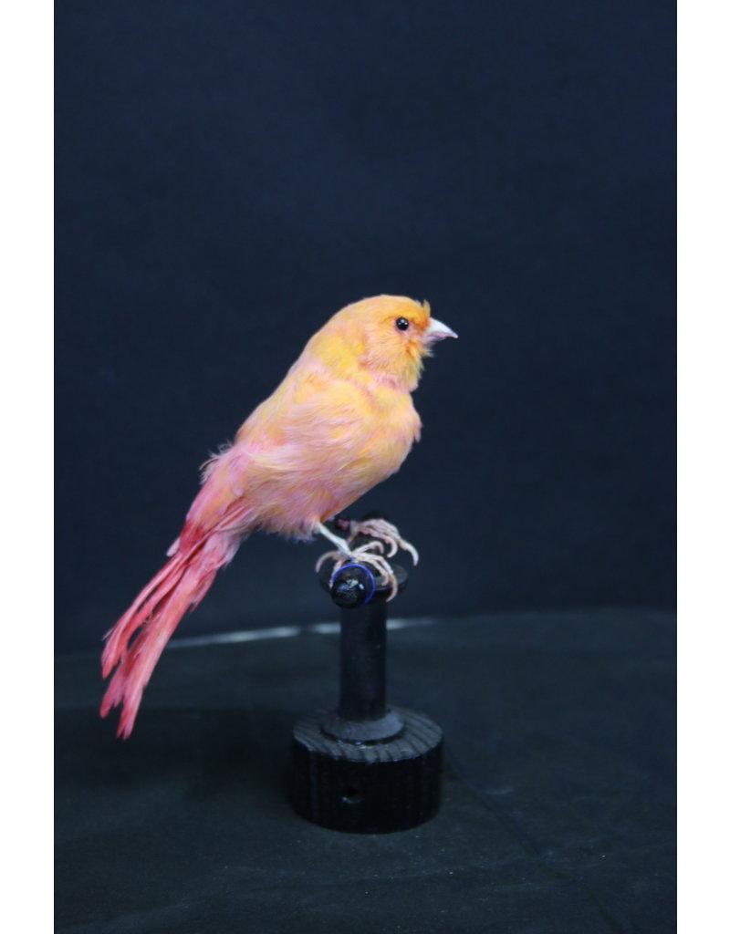 Taxidermy Stuffed Orange canary bird