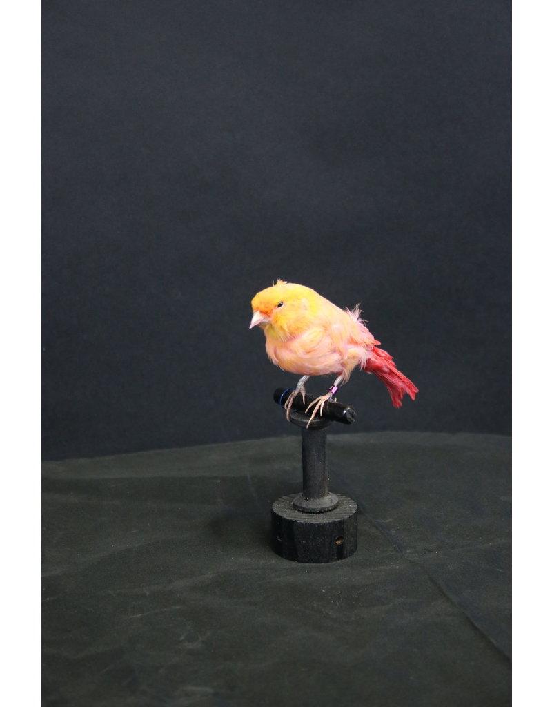Taxidermy Opgezette Oranje kanarie vogel