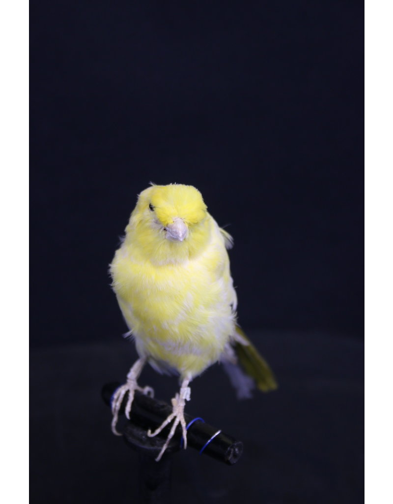 Taxidermy Stuffed Yellow Canary Bird