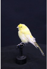 Taxidermy Opgezette Gele Kanarie Vogel
