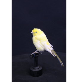 Taxidermy Stuffed Yellow Canary Bird