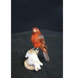 Taxidermy Opgezette Rood Bruine Kanarie vogel