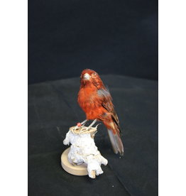 Taxidermy Stuffed Red Brown Canary bird