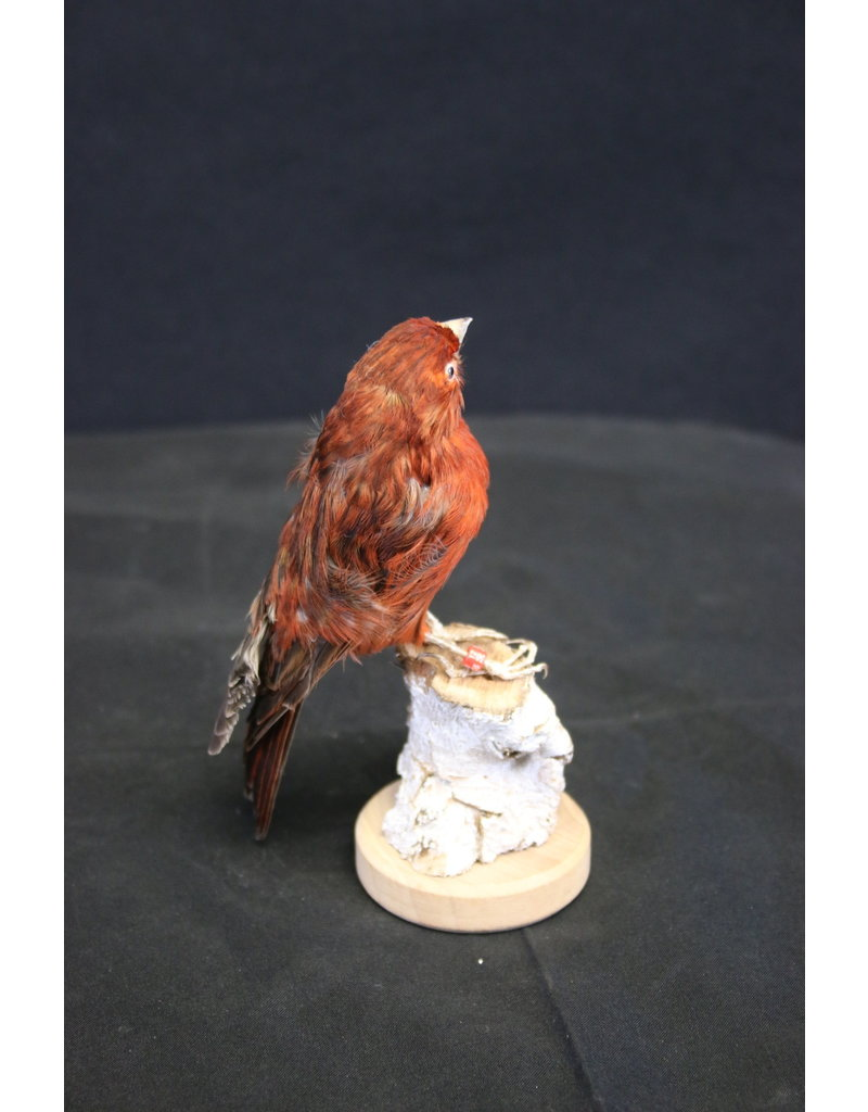 Taxidermy Stuffed Red Brown Canary bird
