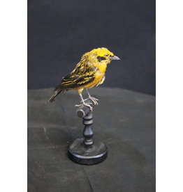 Taxidermy Stuffed Yellow Brown Canary Bird