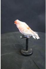 Taxidermy Stuffed Red Gray Canary Bird