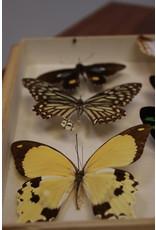 Vlinders in houtenkist