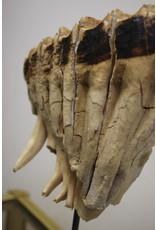 Old Mammoth choose from the IJsselmeer