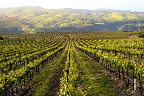Californische vineyard