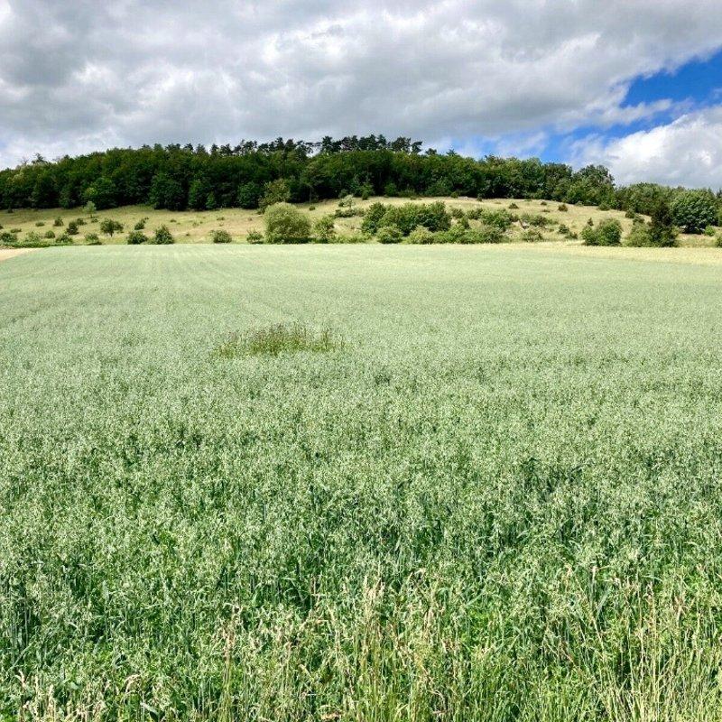 Semhof Grünhafer Heu (Green Oats)