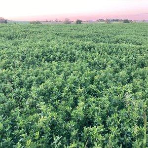Semhof alfalfa pellets Turbo Conversion goods