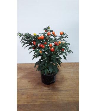 Solanum Pseudocapsic