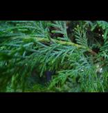 Japanse Wierook Ka-Fuh Hinoki Cypress