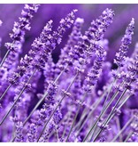 Japanse Wierook Ka-Fuh Lavendel