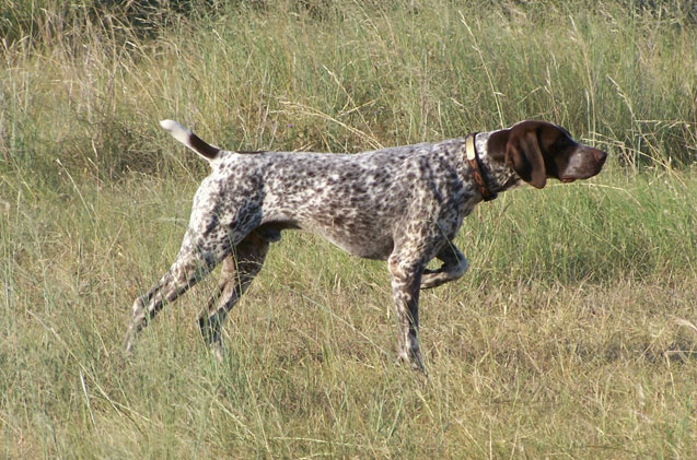 German-Shorthaired-pointing-Dog