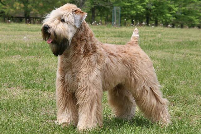 Soft-coated-wheaten-terrier