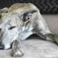 Anaplasmose - eine durch Zecken übertragene Bedrohung für Hunde