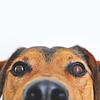 Ehrlichiose bei Hunden