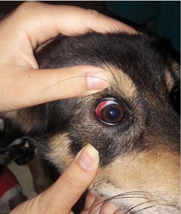 Ehrlichiose_Auge_Blutung