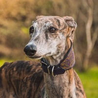 "Abuse by ""Hunters"" on Galgos / Spanish Greyhounds"