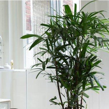 Bamboopalm rhapis