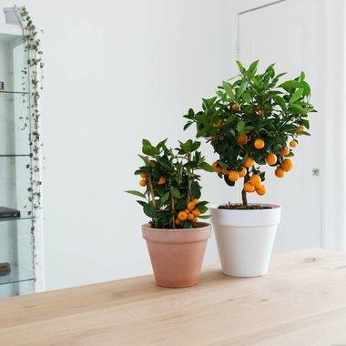 Citrus Sinaasappelboom