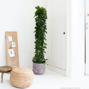 Grote kamerplanten
