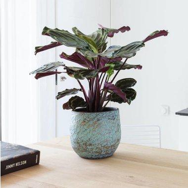 Tafelplanten in pot
