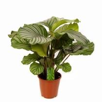 Calathea Living Plant