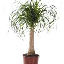 Beaucarnea flesseboom medium