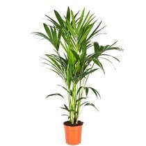 Kentiapalm small