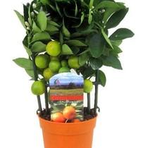 Appelsienboom kopen