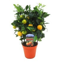 Appelsienboom op rek medium