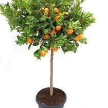 Appelsienboom XXL
