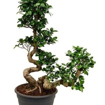 Ficus Bonsai Special Shape