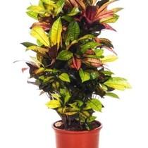 Croton Wonderstruik L
