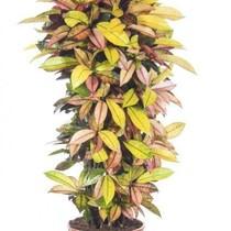 Croton Wonderstuik XL